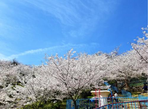 桜と青空2