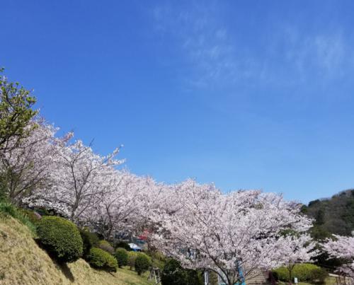 桜と青空3