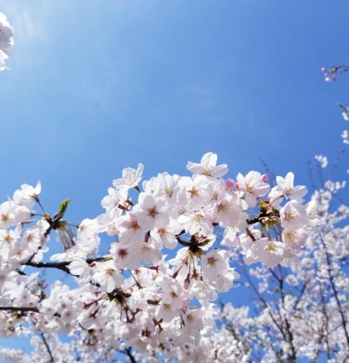 桜と青空4