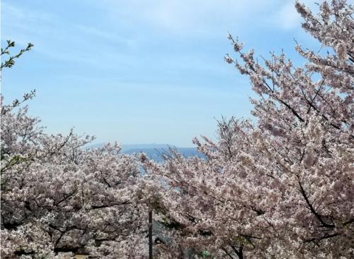 桜と青空と淡路島