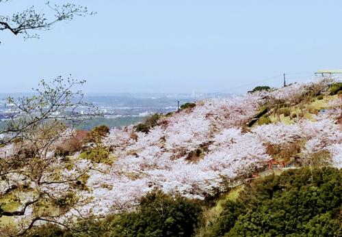 旗振山の桜